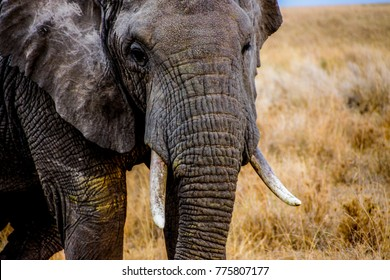 african elephant head portrait pictured in front of yellow grass in the african savannah