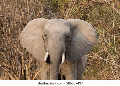 African elephant head and tusks up close on a safari in the South Luangwa Valley of Zambia, Africa.