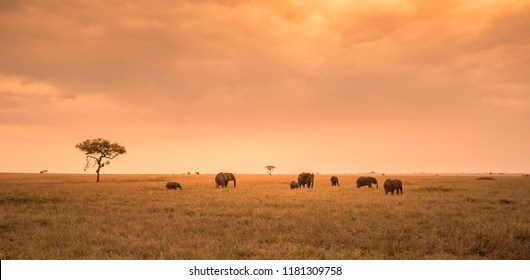 African Elephant herd group in the savannah of Serengeti at sunset. Acacia trees on the plains in Serengeti National Park, Tanzania.  Safari trip in Wildlife scene from Africa nature.