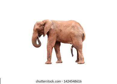 African Elephant isolated on white background.with clipping path