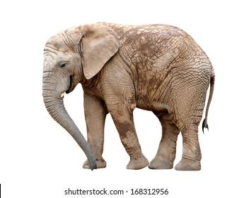 African elephant isolated on white