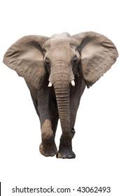 African Elephant isolated on white; Loxodonta Africana; Etosha