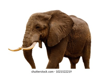 African elephant isolated on the wild background