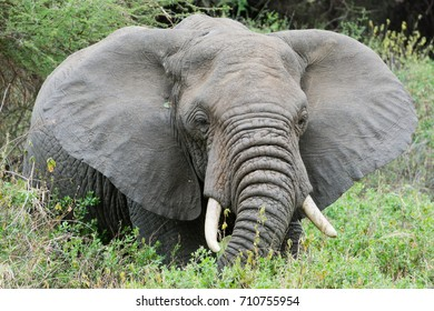 African elephant in in Lake Manyara Park Tanzania