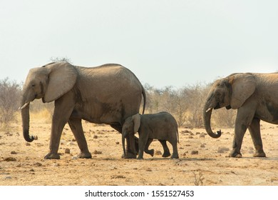 African elephant (Loxodonta africana), adults with calf, Tsumcor water hole, Etosha National Park, Namibia