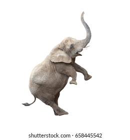 African elephant (Loxodonta africana) balancing. Funny animal isolated on white background.