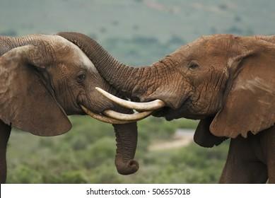 African Elephant, Loxodonta africana, bulls fighting, Addo Elephant Park, South Africa