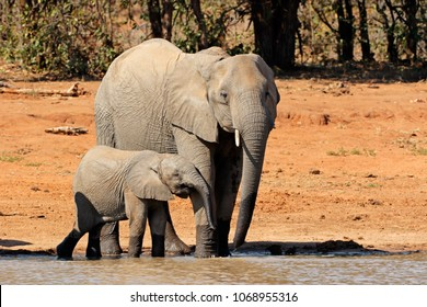 African elephant (Loxodonta africana) cow and calf at a waterhole, Kruger National Park, South Africa