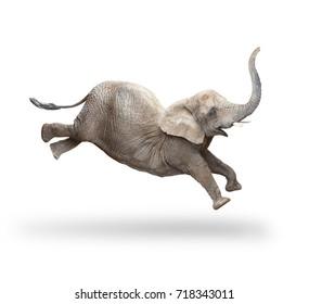 African elephant - Loxodonta africana female running and jumping.  Animals isolated on white background.