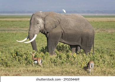 African elephant (Loxodonta africana) , male, Amboseli National Park, Kenya