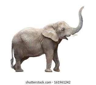 African elephant (Loxodonta africana) on a white background.