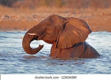 African elephant (Loxodonta africana) playing in water, Etosha National Park, Namibia