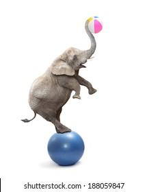 African elephant (Loxodonta africana) playing with balls.