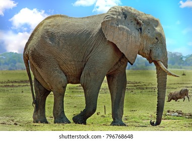 African Elephant (Loxodonta Africana), standing on the dry open plains with a warthog in the background in South Luangwa National Park, Zambia, Southern Africa