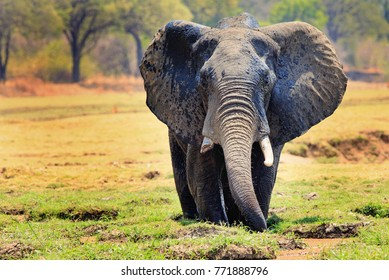 African elephant (Loxodonta) with ears flapping standing in a shallow agoon against a natural bush and plains background in South Luangwa National Park, Zambia, Southern Africa