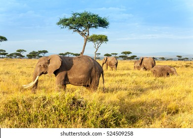 African elephant in The Maasai Mara National Reserve, Kenya