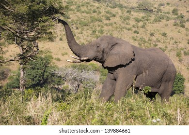 African elephant male feeding off tree with trunk