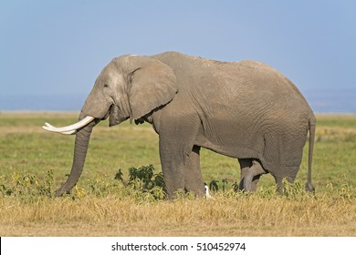African elephant, male, in long grass of Masai Mara, Kenya