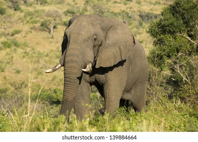 African elephant male in musth