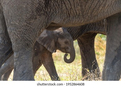 African elephant mother with her cub