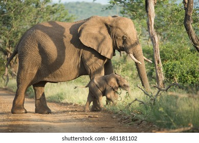 African Elephant, with new born in Kruger Park South Africa