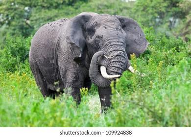 African elephant in the Ngorongoro Crater, Tanzania