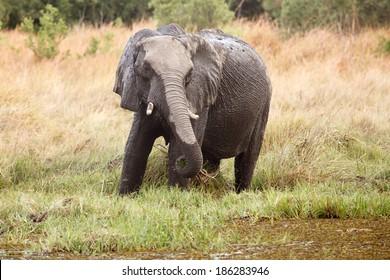 African Elephant in Okavango Delta - Moremi National Park in Botswana