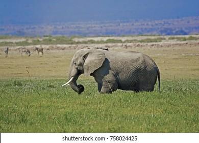 African Elephant on the Amboseli, Kenya, Africa