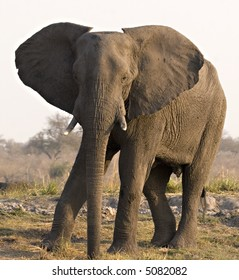 African Elephant on Chobe Riverbank (Botswana)