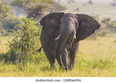 African Elephant on the Serengeti Savannah