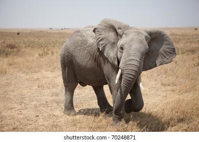 African Elephant on the Serengeti in Tanzania