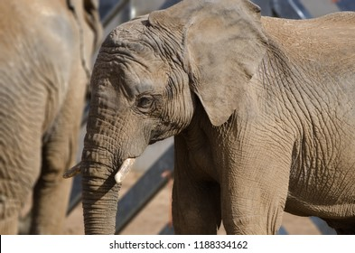 An African Elephant as part of the herd