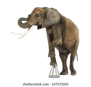 African elephant performing, standing up on a stool, isolated on white