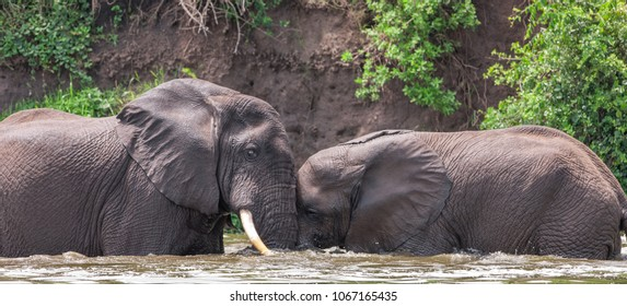 African elephant in the Queen Elizabeth National Park, Kazinga Channel (Uganda)