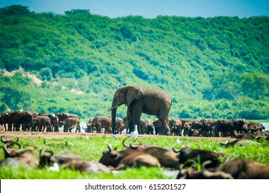 African Elephant. Queen Elizabeth National Park. Uganda