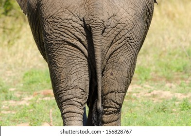 African Elephant Rear View, Butt.  south Africa