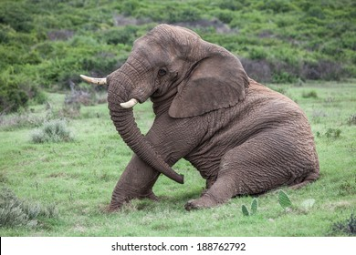 A african elephant siting down on the grass