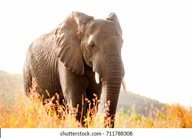 African elephant standing behind some dry grass close full-length shot.