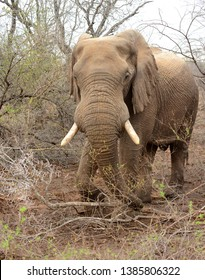 African elephant standing in the brush in Kruger National Park in South Africa
