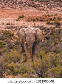 An African Elephant standing in the savannah at a private game reserve