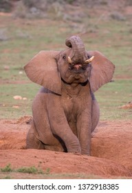 African elephant with trunk curled back and mouth open