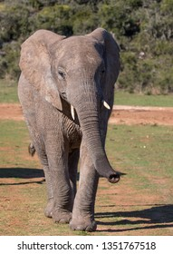 African Elephant with trunk outstretched in South Africa