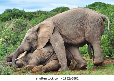 African Elephant trying to help a injured elephant