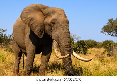 African Elephant tusker at close range