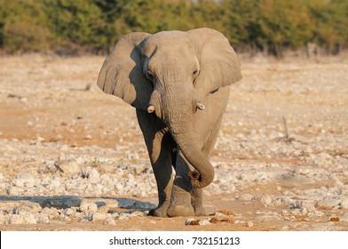 African elephant walk, etosha nationalpark, namibia, (loxodonta africana)