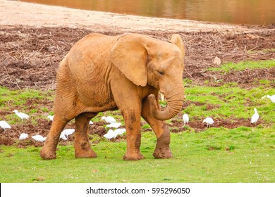African elephant walking in Cabarceno nature reserve