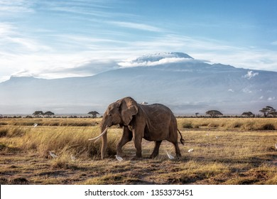 African elephant walking in front of Mount Kilimanjaro in Amboseli, Kenya Africa