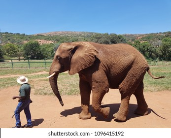 African Elephant Walking With Game Ranger