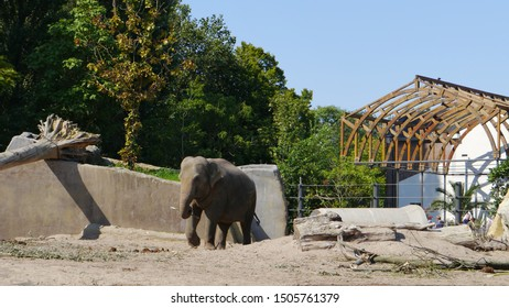An African elephant walking with its stick