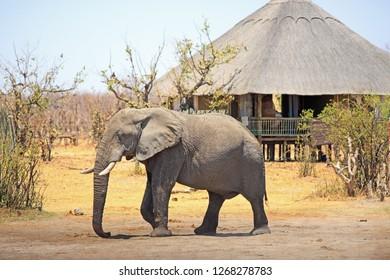African elephant walking through a safari lodge in Hwange National Park, Zimbabwe